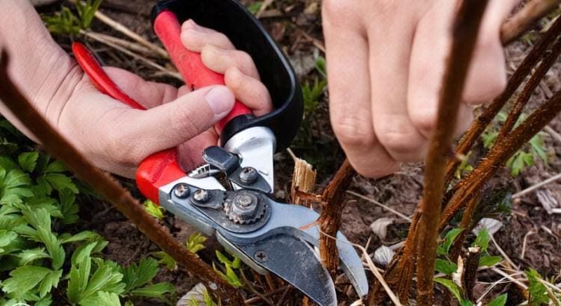 Правила обрізки малини восени: як і коли обрізати 1
