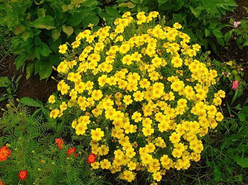 Квітучі декоративні культури кулястої форми
