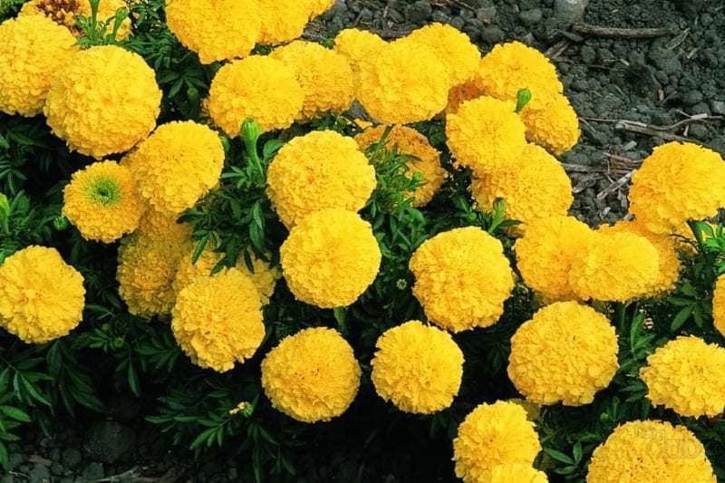 Багаторічні садові культури з махровими суцвіттями