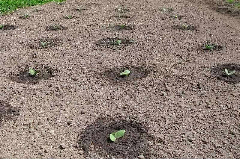 Правила і секрети вирощування гарбуза у відкритому грунті 2