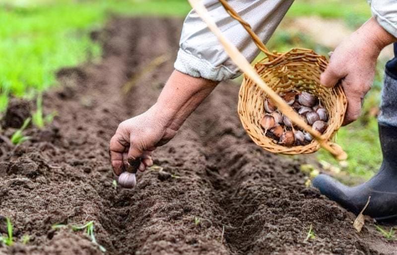 Що можна садити під зиму на городі? 6