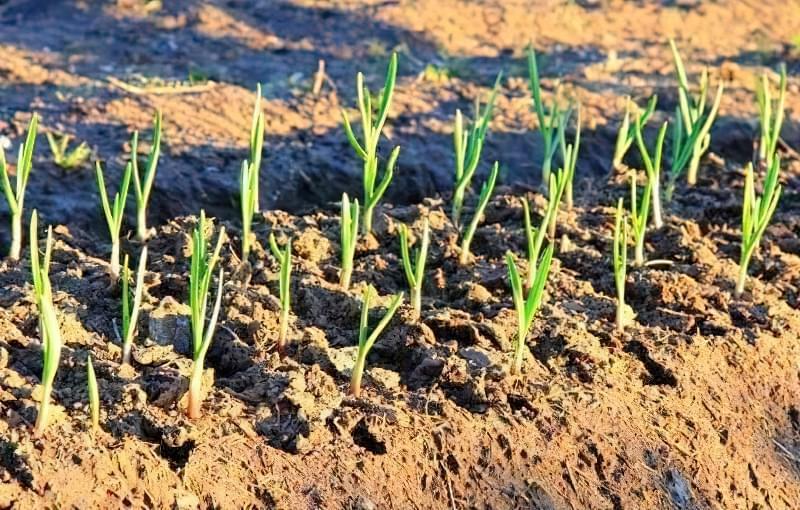 Що можна садити під зиму на городі? 9