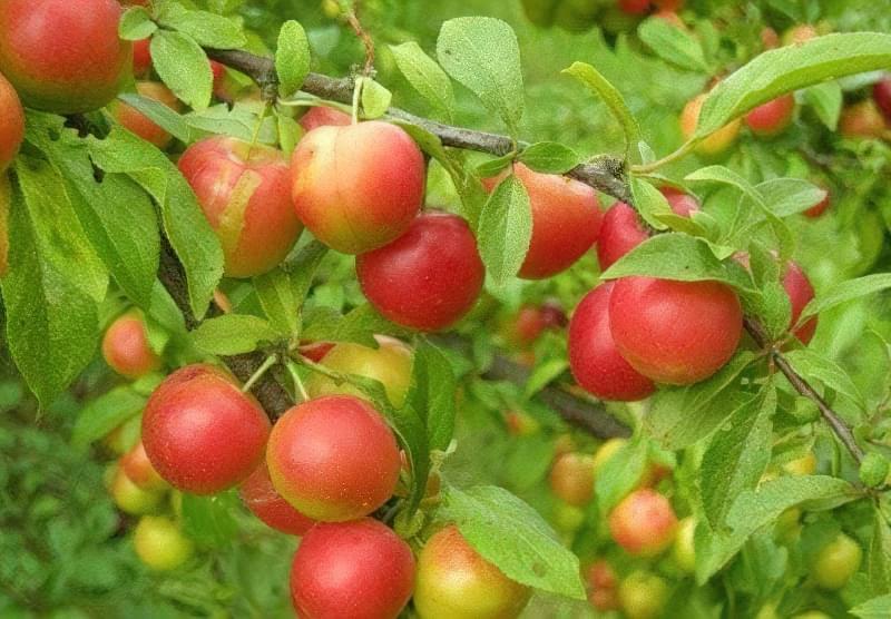 Слива – це ягода або фрукт 1