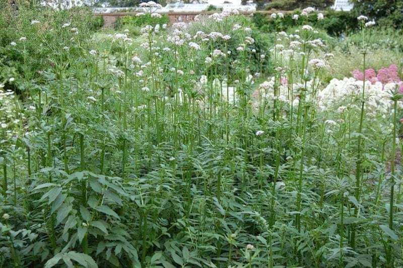 Відмінною особливістю валеріани є специфічний запах, який надають рослинам ефірні масла