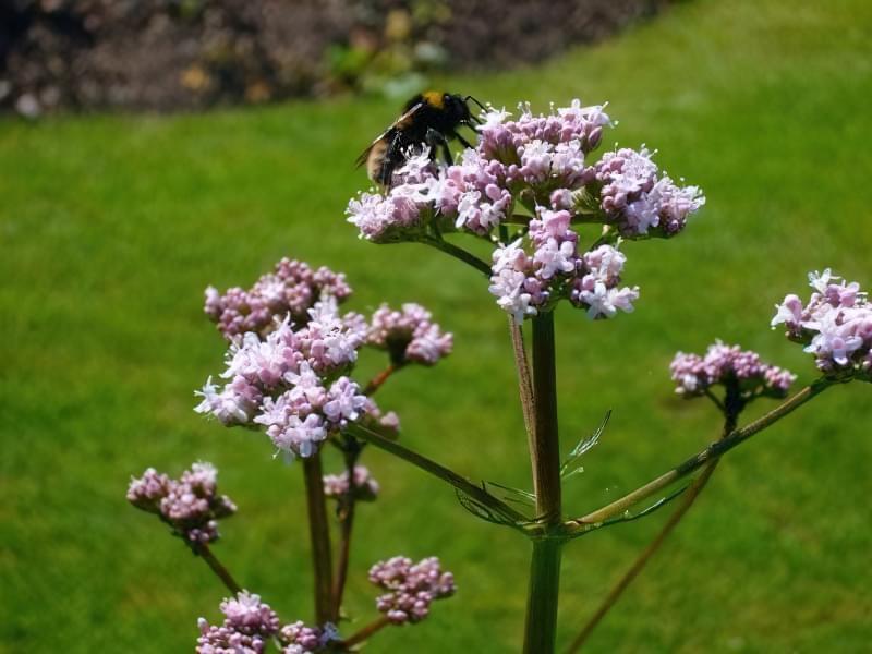 Валеріана лікарська — властивості, особливості вирощування та заготівлі 1