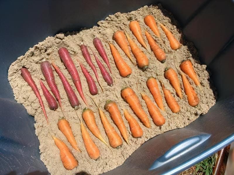 Зберігання моркви в піску