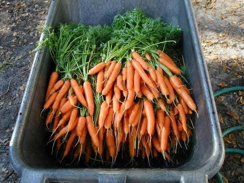 Для тривалого зберігання підходять далеко не всі сорти моркви