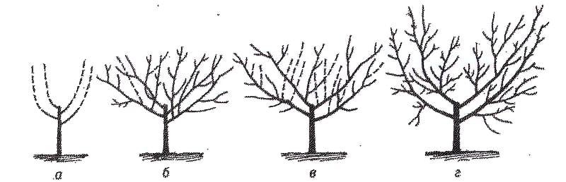 Формування і обрізка персика восени
