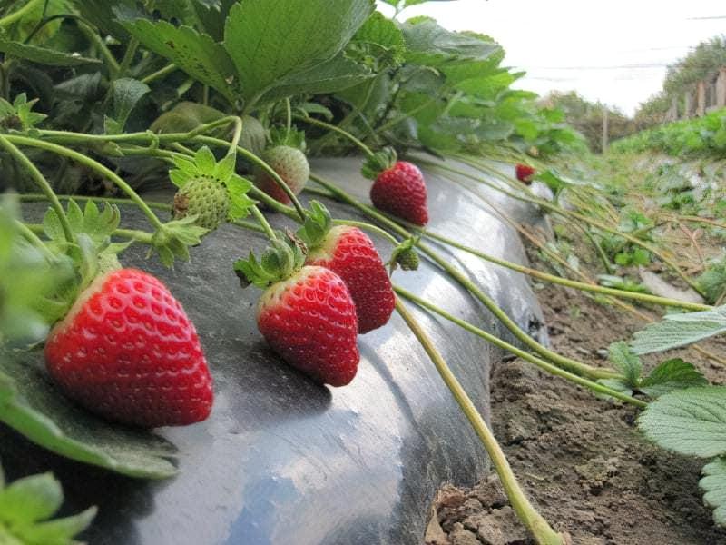 Як вирощувати полуницю, щоб ягоди були цілий рік 1