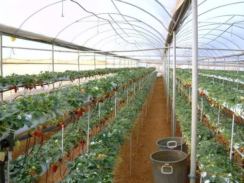 Вирощування полуниці за голландською технологією