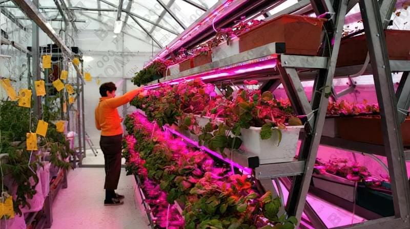 Додаткове освітлення при вирощуванні полуниці