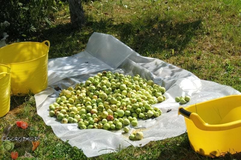 осінній збір яблук для зберігання