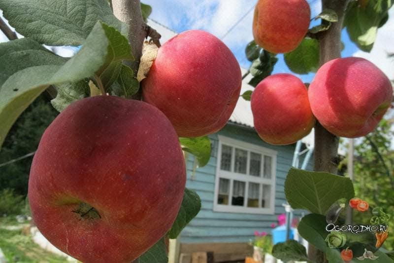 зрілість яблук для зберігання