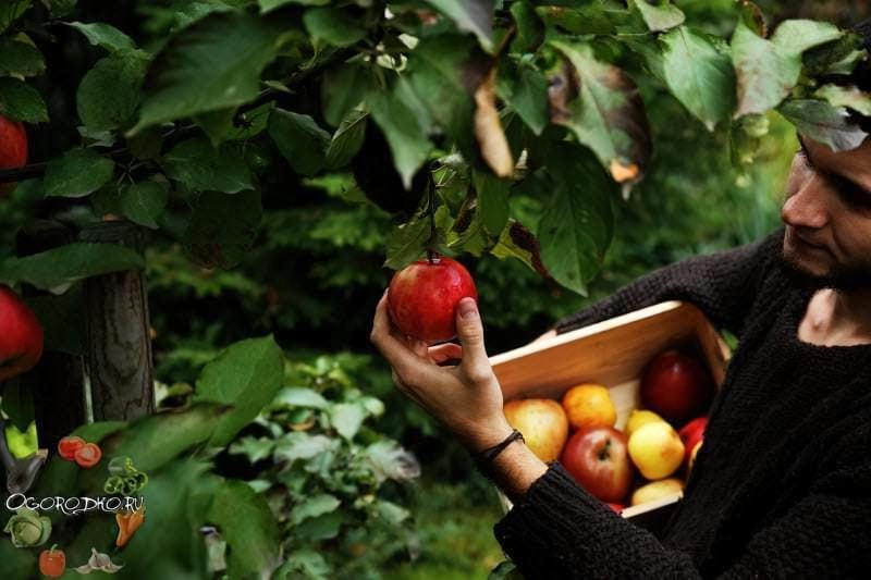 Як зберегти яблука на зиму свіжими в домашніх умовах – розкриємо секрети 1