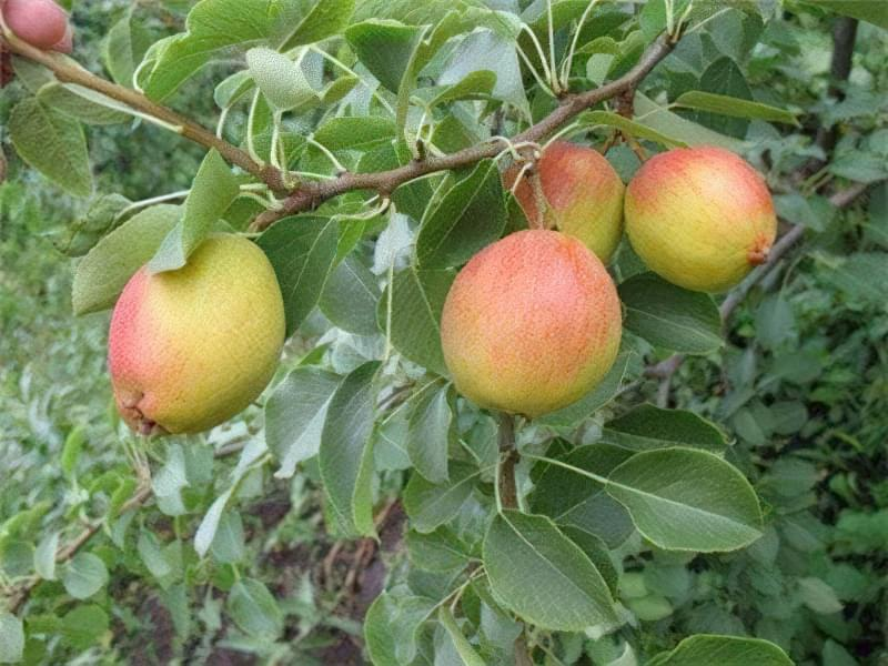 За формою фрукти віддалено нагадують яблука