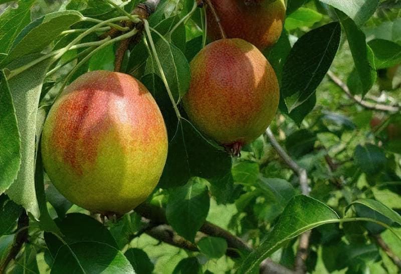 Характеристика високоврожайного сорту груші Красуля 1
