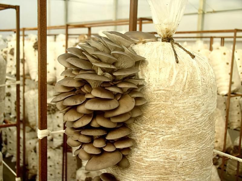 Домашня грибниця повинна бути добре освітленою