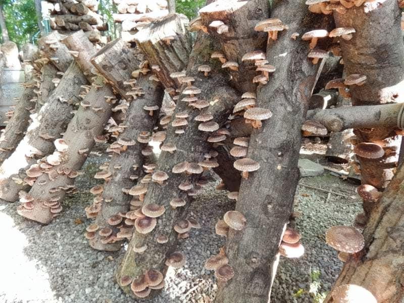 Поради по вирощуванню грибів в домашніх грибницях 2