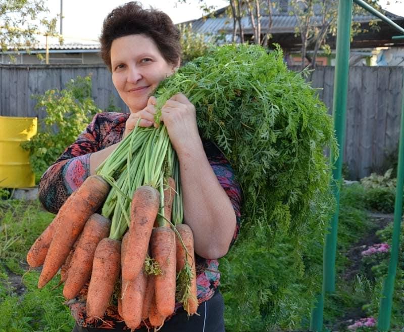 Посадка моркви під зиму – коли і як садити? 3