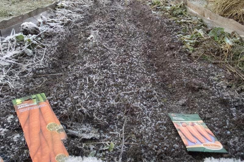 Посадка моркви під зиму – коли і як садити? 1