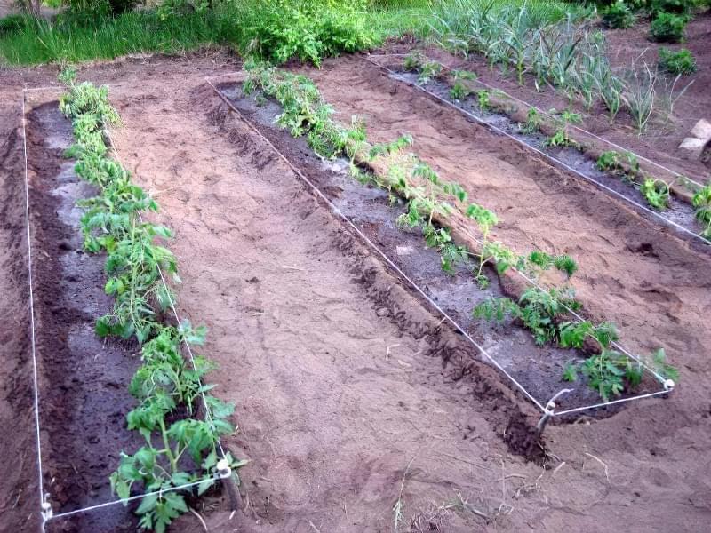 Рясний полив і підгодівля томатів у відкритому грунті
