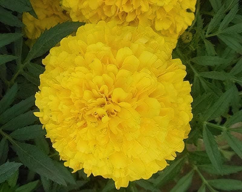 Тайшан Еллоу мають густі квітки