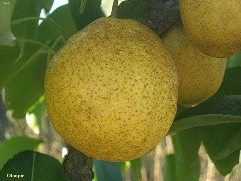 Олімпік дає середні за величиною плоди, до 160 г