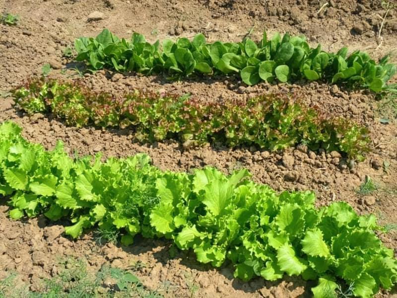 Сорти шпинату: опис, вирощування 2