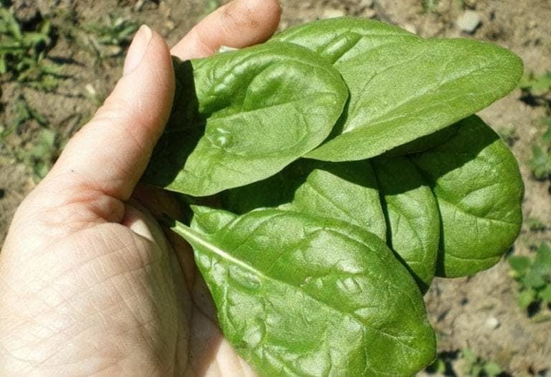 Сорти шпинату: опис, вирощування 3