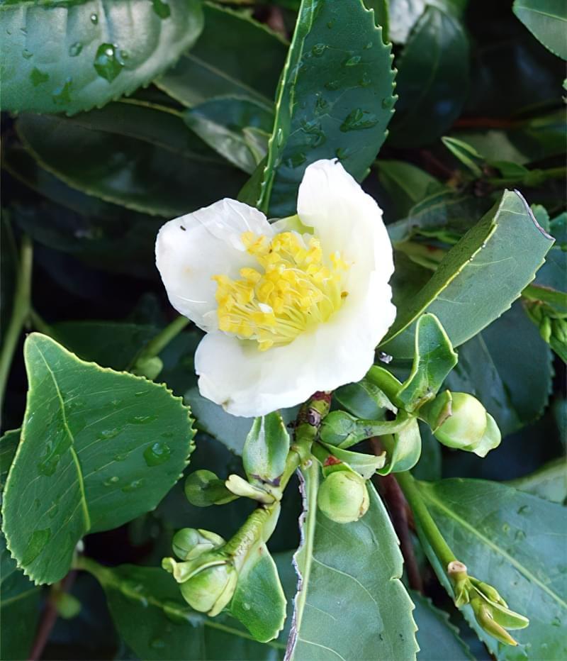 Камелія - китайський чай (Camelia sinensis)