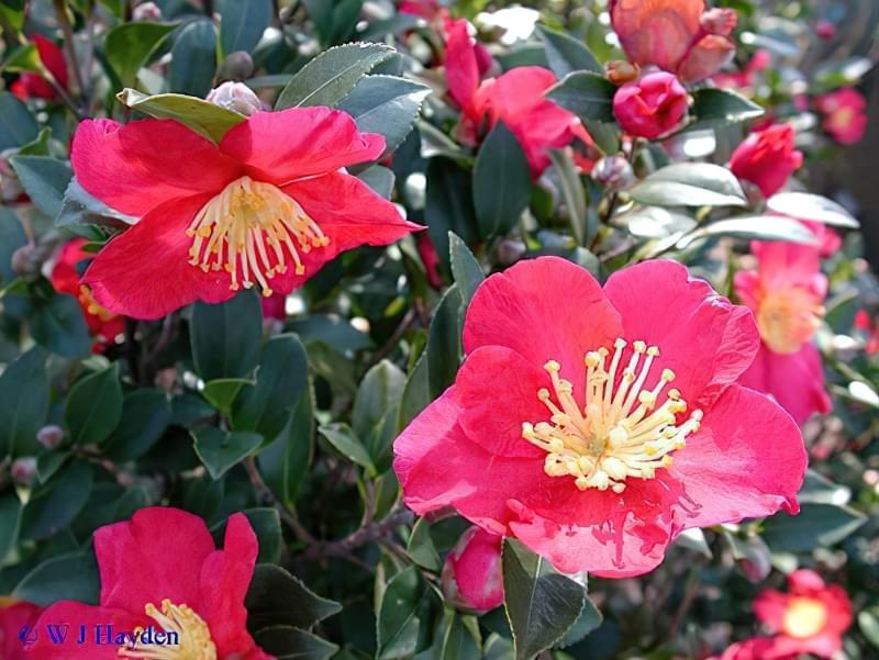 Камелія сазанка (Camellia sasanqua), сорт Yuletide