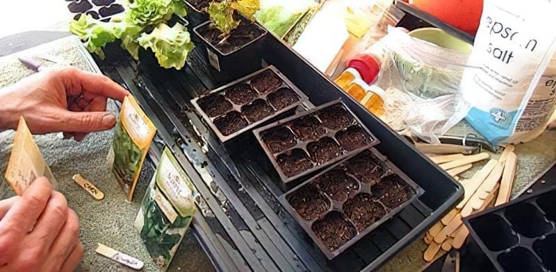 Вирощування листового салату на вікні
