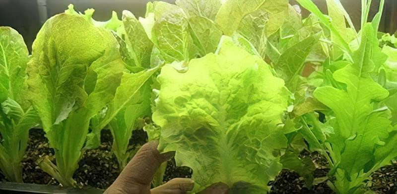 Вирощування салату вдома на підвіконні 42