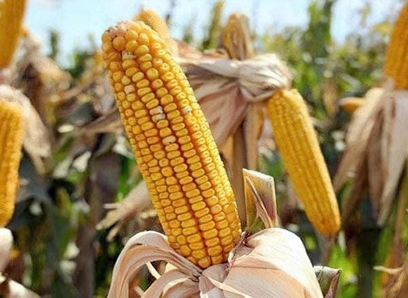 Вирощування кукурудзи на зерно і корми