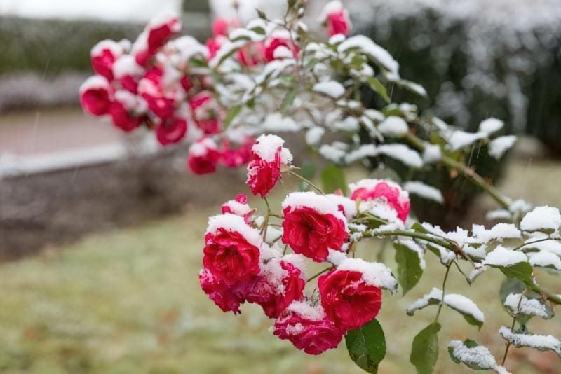 5 простих правил догляду за трояндами восени 1