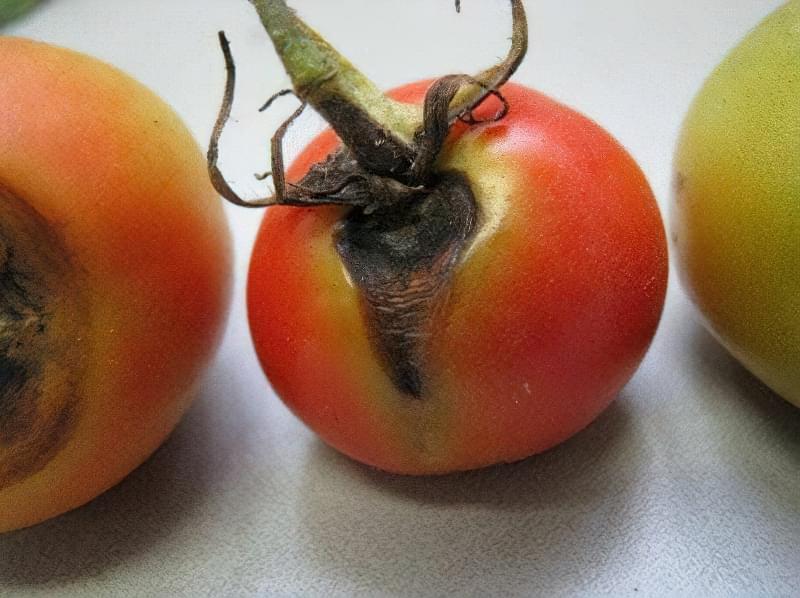 Чому помідори гниють на кущах: причини і методи вирішення проблеми 2
