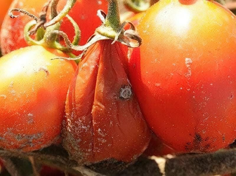 Чому помідори гниють на кущах: причини і методи вирішення проблеми 3