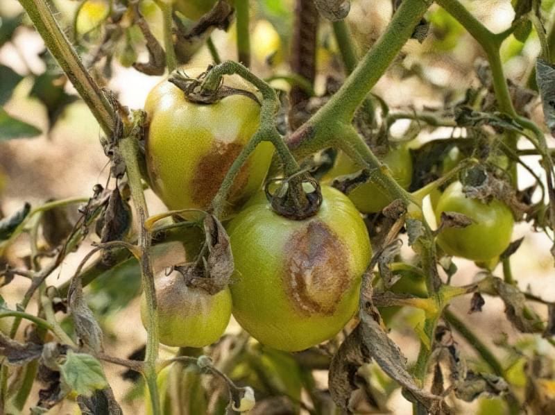 Чому помідори гниють на кущах: причини і методи вирішення проблеми 1