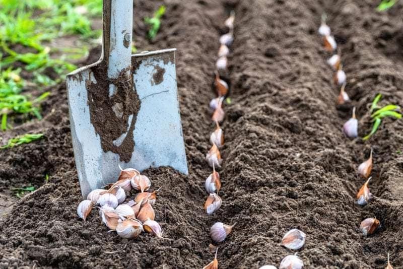 Глибина посадки часнику — важливий фактор від якого залежить його врожайність