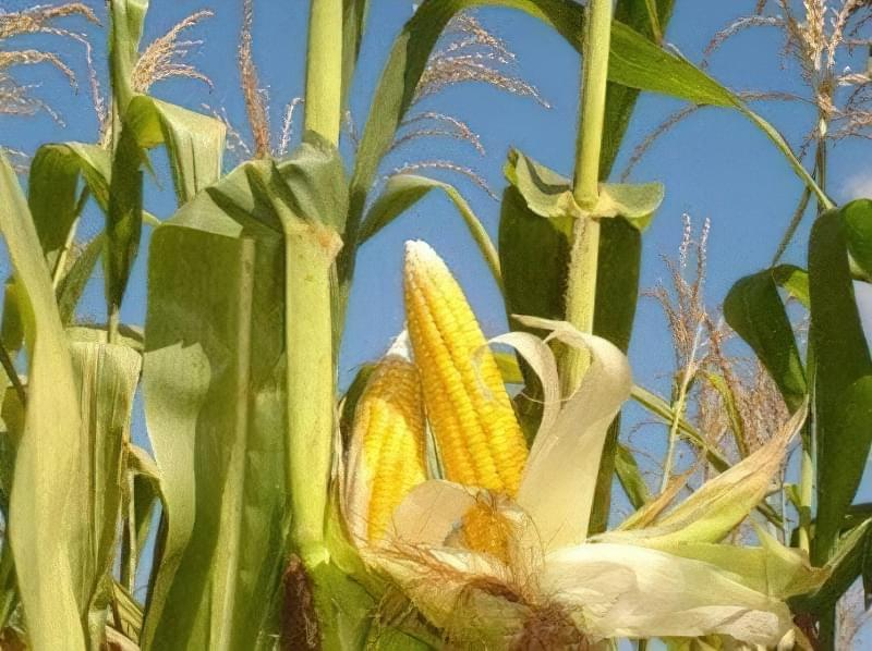 Кукурудзяні грядки: коли збирати урожай і як визначити зрілість качанів 2