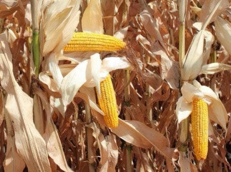Кукурудзяні грядки: коли збирати урожай і як визначити зрілість качанів 3