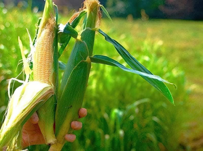 Кукурудзяні грядки: коли збирати урожай і як визначити зрілість качанів 4