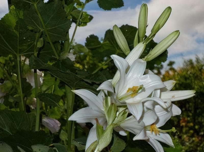 Лілія білосніжна, або Кандидум (Lilium candidum)