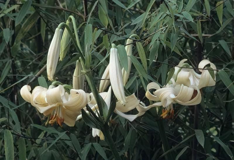 Кандідум-гібрид, лілія теракотова (Lilium x testaceum)