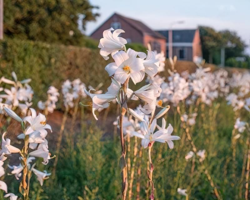 І лілія білосніжна, і її гібриди - рослини не стійкі до захворювань