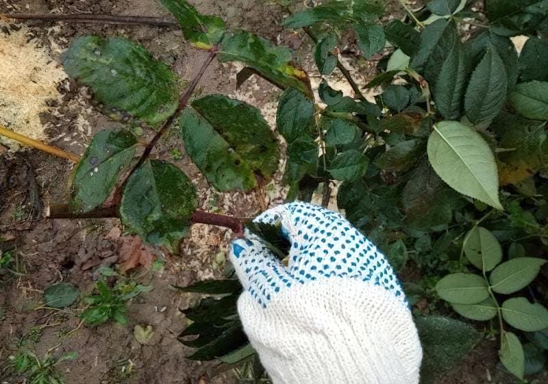 Видалення пошкодженого листя з куща