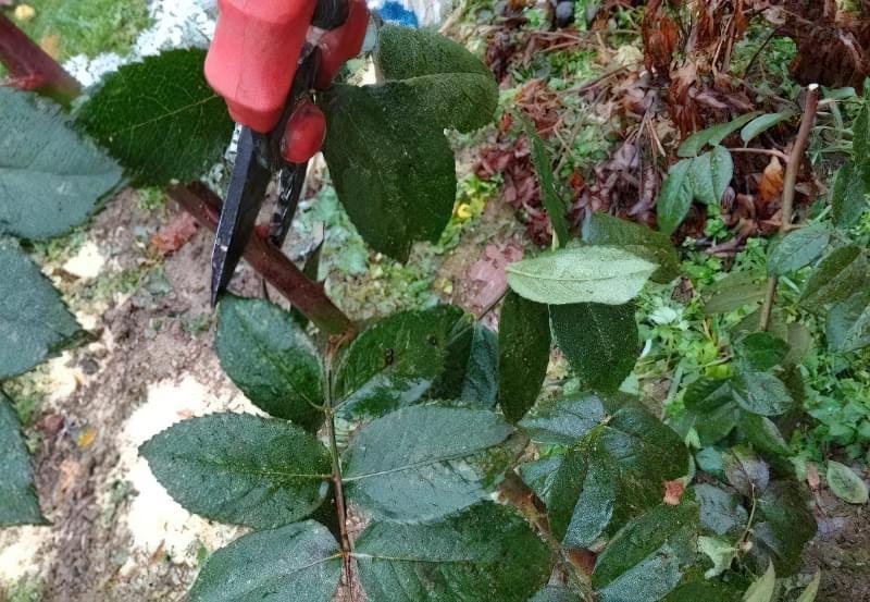 Обрізка і укриття троянд на зиму: фото-інструкція від досвідченого садівника 2