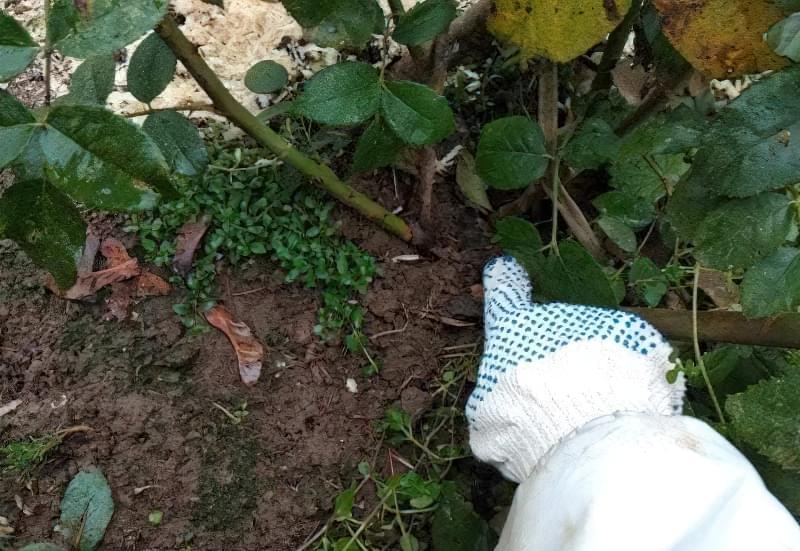 Обрізка і укриття троянд на зиму: фото-інструкція від досвідченого садівника 5