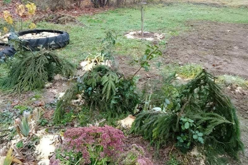 Обрізка і укриття троянд на зиму: фото-інструкція від досвідченого садівника 9