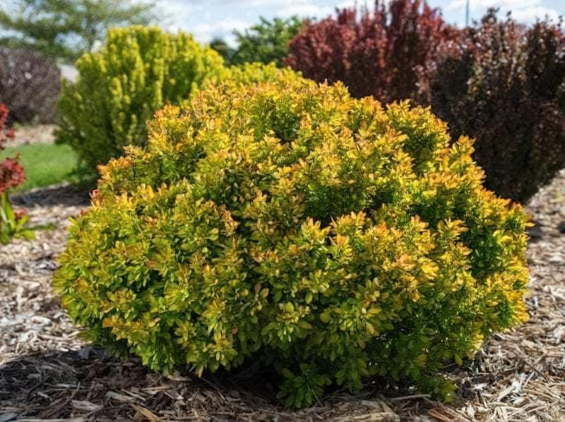 Садимо барбарис восени 1